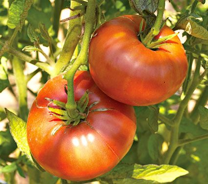 Tomato Brandywine Red Tomato Seedlings Growing 400 x 300