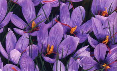 Saffron crocus (Crocus sativus). Blooms in fall. 25 bulbs for ten ...