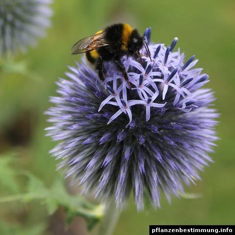 Blau bl hende pflanzen und blumen bestimmen meine pflanzen pinterest blumen blaue blumen - Gartenpflanzen bestimmen ...