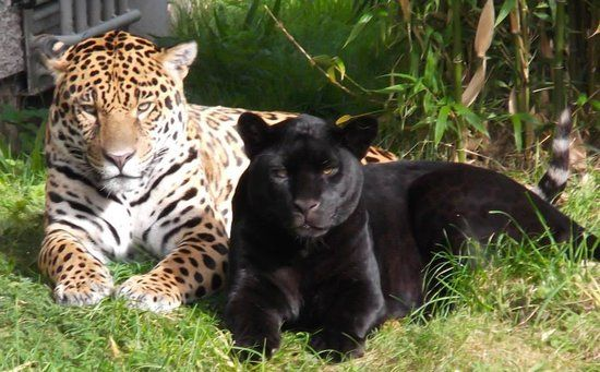Juagar In Chester Zoo Animals Pinterest Chester Zoos And Cat