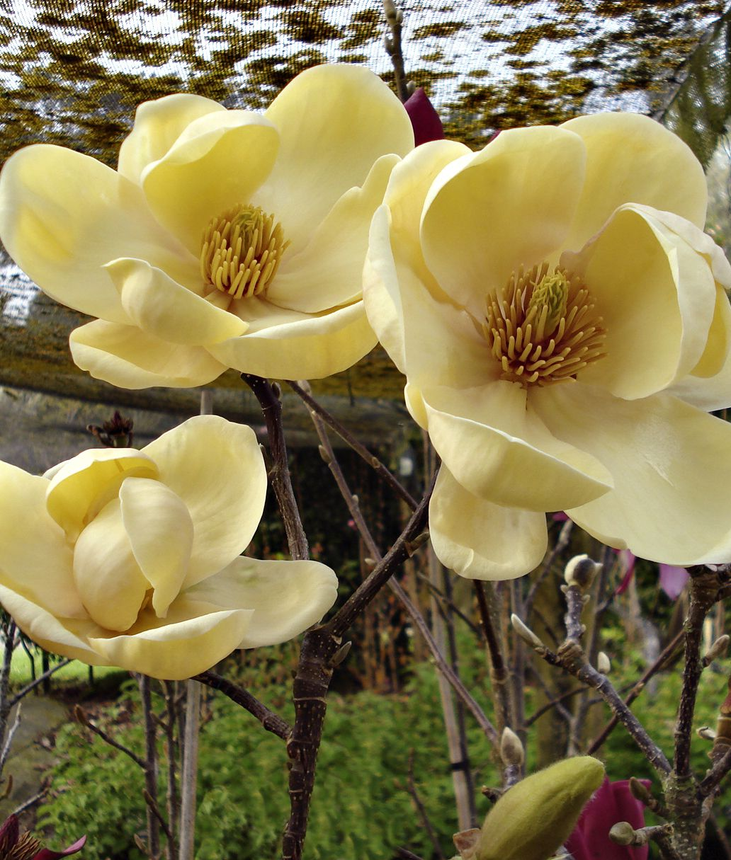 Honey Tulip Magnolia From Nz Breeder Mark Jury Stunning Perfect