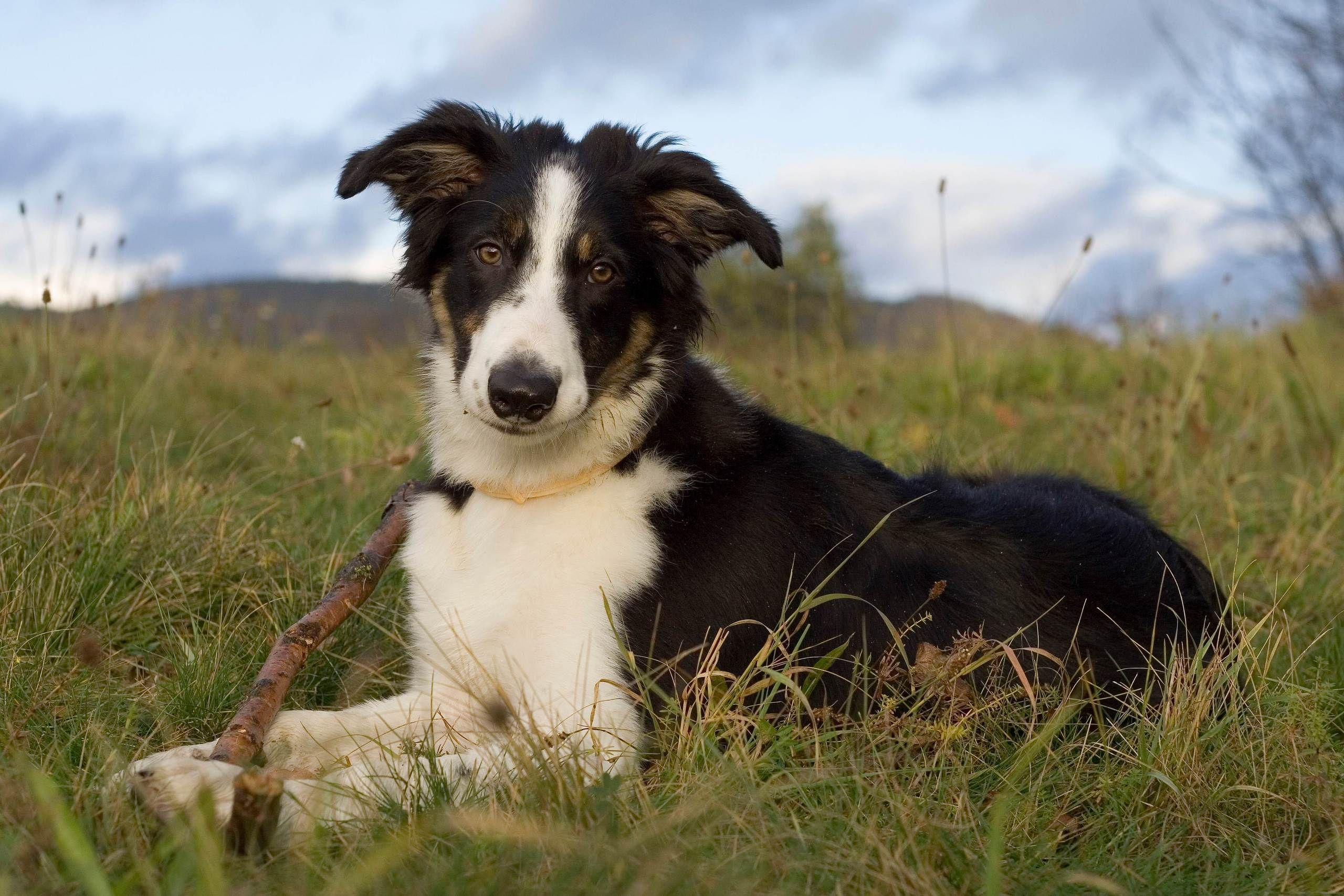 Adult Border Collie Dog Playing With A Piece Of Wood Hunde Vektorgrafik