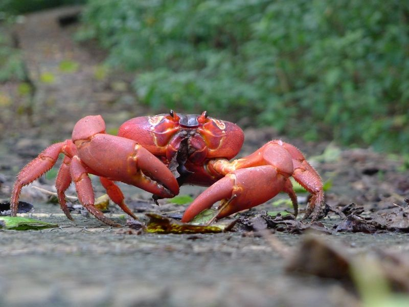 Read more and watch a short video about red #crab (Gecarcoidea natalis) migration on Christmas Island via the Migratory Connectivity Project (MCP) website!