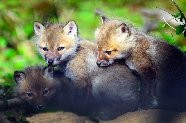 Red Fox Kits by Brian E Kushner, via Flickr