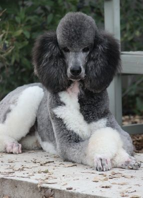 What do you think of the different colours of a parry poodle? Do you like them? Better then a single coloured poodle? Have you ever owned one? Would you? #Poodle