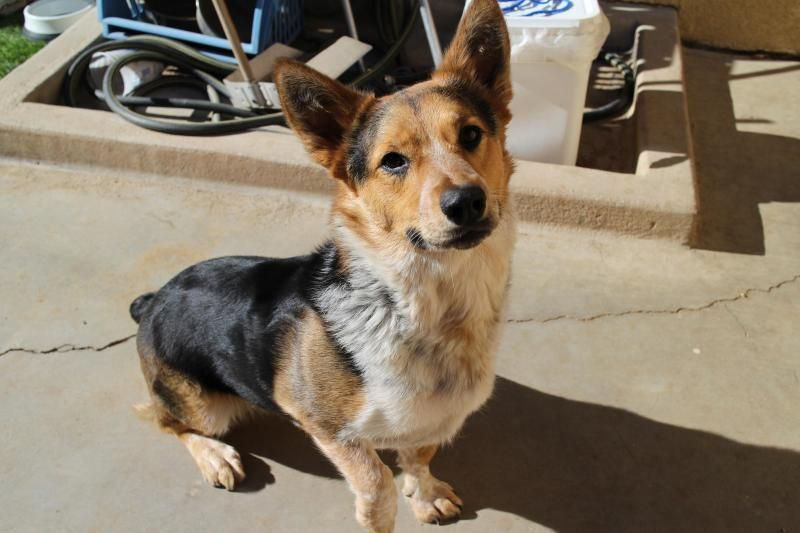 Meet Josie, an adoptable Welsh looking for a forever