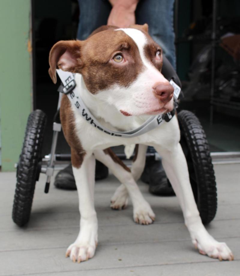 Pitbull puppy rescue ct