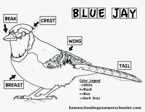 Blue Jay Coloring Sheet Blue Jay Bird Unit Study Nature Kids