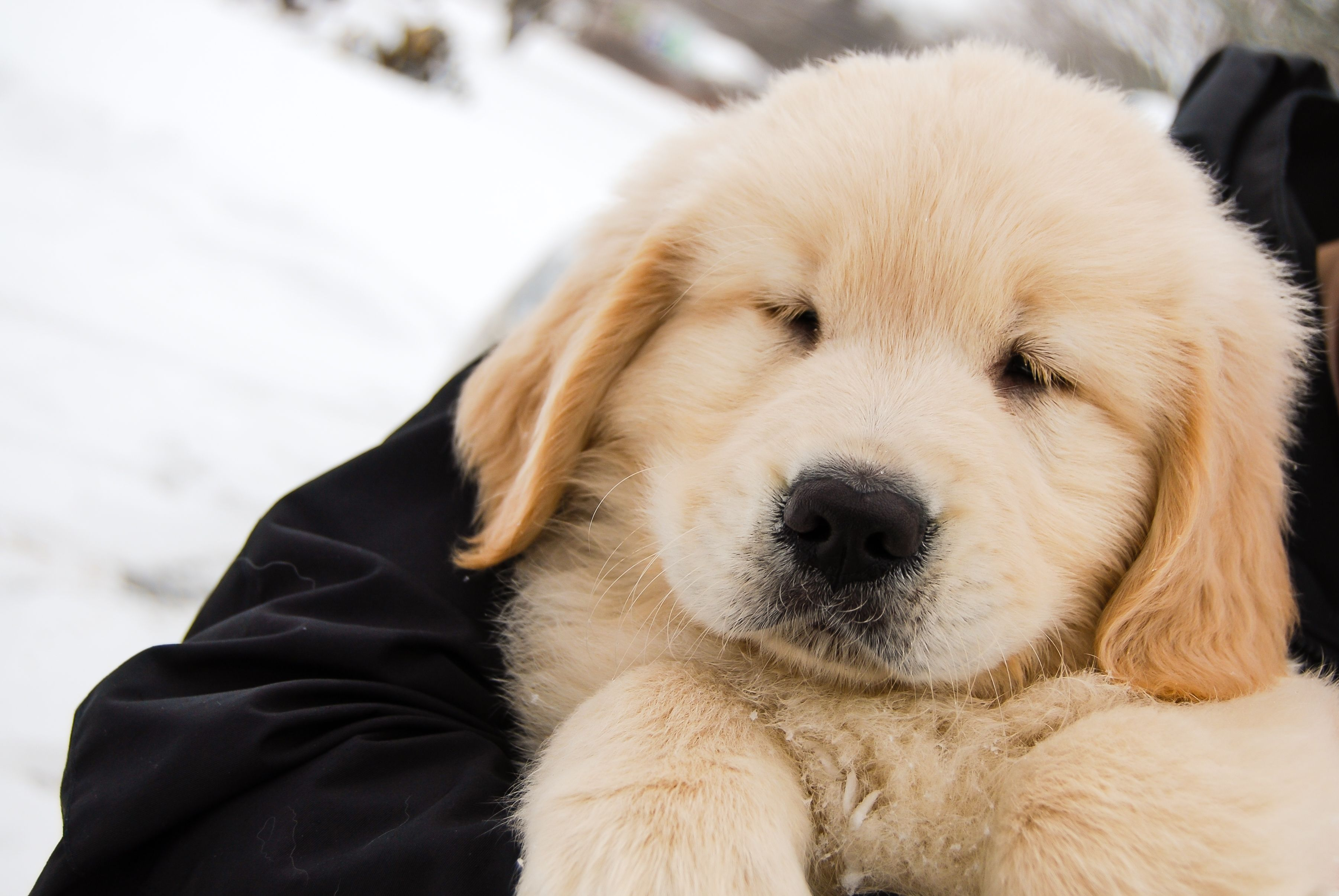 Golden Retriever Puppy In Maine Baby Dogs Dog Lovers Puppies