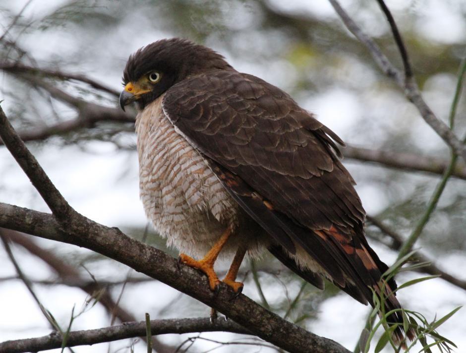 Roadside Hawk (Buteo magnirostris) Early morning.