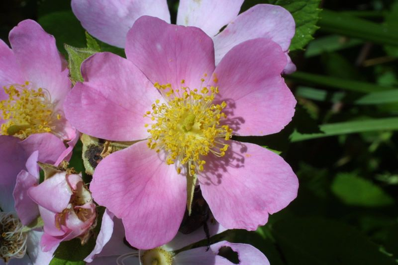 Iowa S State Flower The Wild Prairie Rose Wild Roses Iowa Farms
