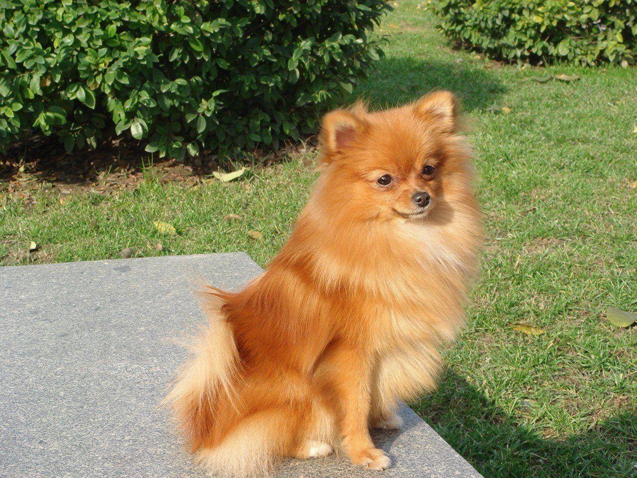 Pomeranian Cute Pomeranian Dog Wallpapers For Desktop Holiday