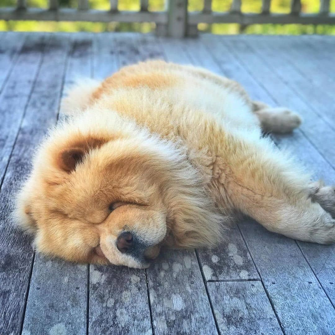 Ohh I played so much today 🎾🥎 Look at my slippy mood 🐻😴 . #chowpuppies #dog #puppy #chowchow  #instagood #dogs_of_instagram #pet #pets #animal #animals #dogsofinstagram #ilovemydog #instagramdogs #dogstagram #dogoftheday #lovedogs #lovepuppies  #adorable #doglover #instapuppy #instadog