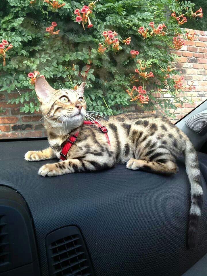 This little cutie is called Siren Bengal cat, Feline