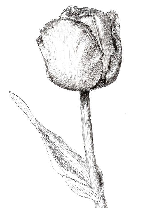 это тюльпаны рисовать карандашом картинки фотостудия