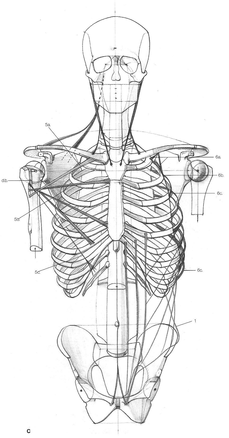 esqueleto frente | Animation = Dream | Pinterest | Anatomía, Dibujo ...