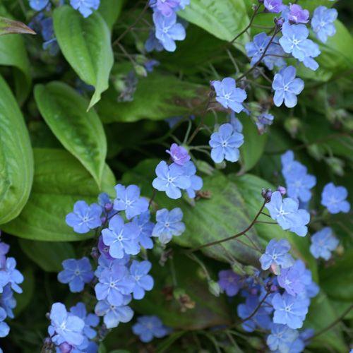 omphalodes verna (petite bourrache) : plantes de sous-bois