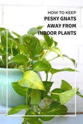 How to Keep Pesky Gnats Away from Indoor Plants#Skincare #Skin #ClearSkin #AntiAging #Collagen #HealthySkin #FaceMask #SkincareTips #SkinCareJunkie #SkincareJunkie #SkinTreatment #SkincareTips #SkincareRoutine #Acne #FaceCare #gnats How to Keep Pesky Gnats Away from Indoor Plants#Skincare #Skin #ClearSkin #AntiAging #Collagen #HealthySkin #FaceMask #SkincareTips #SkinCareJunkie #SkincareJunkie #SkinTreatment #SkincareTips #SkincareRoutine #Acne #FaceCare #gnats How to Keep Pesky Gnats Away from #gnats