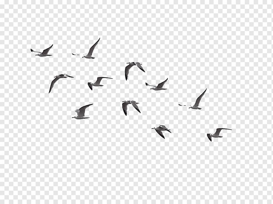 Of Gray Flying Birds Bird Flight Flock Birds Animals Fauna Flight Png Birds Flying Bird Silhouette Bird Illustration