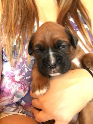Boxer puppy for sale in INDIANAPOLIS, IN. ADN47706 on