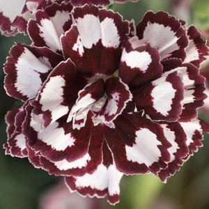 Dianthus Coconut Punch Buy Pinks Perennials Online Flowers Perennials Pink Perennials Flower Seeds