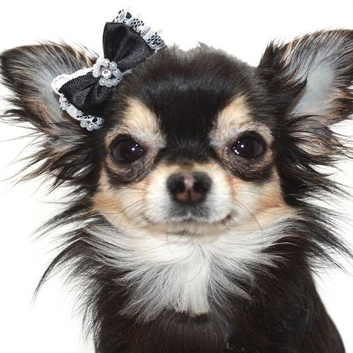 Black Pearl And Lace Hair Bow For Small Dogs Cute Chihuahua Chihuahua Dogs Chihuahua Love