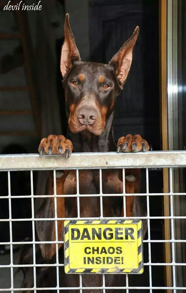 Devil Doberman. I think this might be Magnum!!