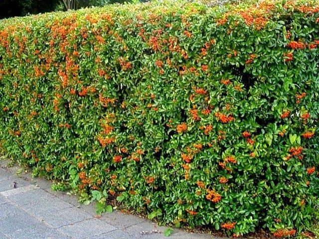 Il mondo in un giardino sempreverdi per siepi siepi for Siepi da balcone sempreverdi