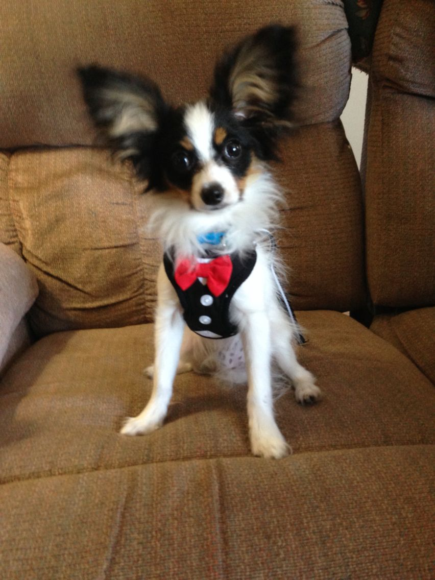 Beau 4 Month Old Papillon Puppy Cute Animals Pinterest Dogs