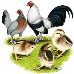 Where To Buy Silver Duckwing Old English Game Bantam Chickens