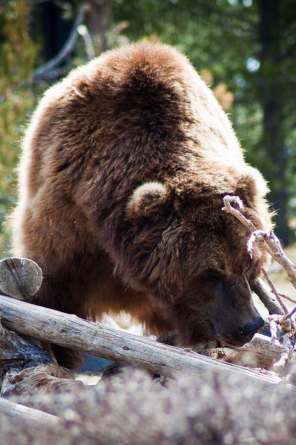 fuckyeah-nature:  Grizzly by Nomadic Lass on Flickr.