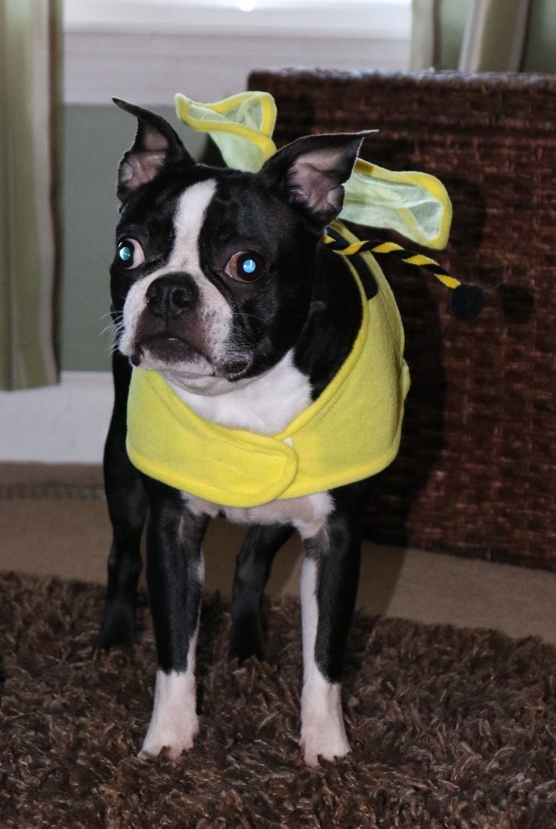 I Bee A Boston Terrier Boston Terrier Fainting Goats For Sale Pets