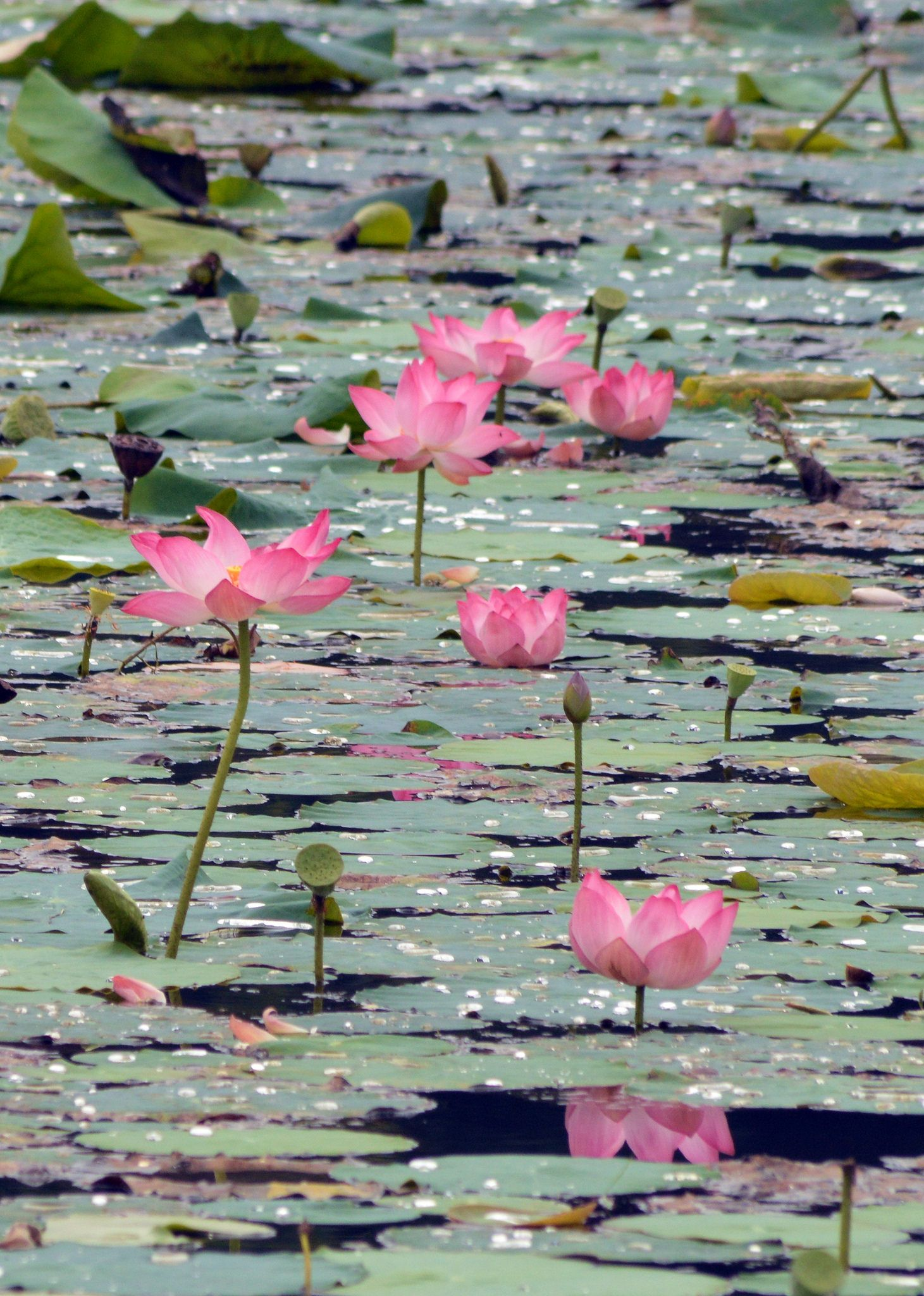 Lotus pond lily ponds pinterest west bengal lotus and pond izmirmasajfo