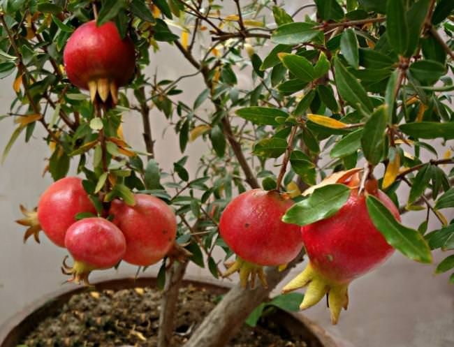 How To Grow Pomegranate Tree In Pot Best Tasting Tropical Fruit Growing Fruit Potted Trees Growing Vegetables In Containers