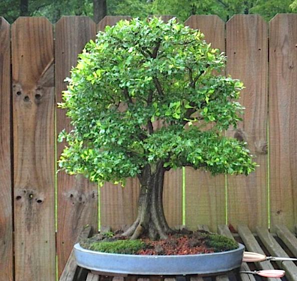 Bonsai Crataegus Monogyna Hawthorn From Www Nebaribonsai Com Bonsai Bonsai Garden Bonsai Tree