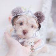 Morkies For Sale in Florida #cuteteacuppuppies Morkie Puppies and Designer Breed Puppies For Sale by TeaCups Puppies | Teacups, Puppies & Boutique - Part 5 #cuteteacuppuppies