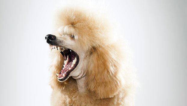 Poodle Standard Dog Breed Selector Dog Breed Selector Dog