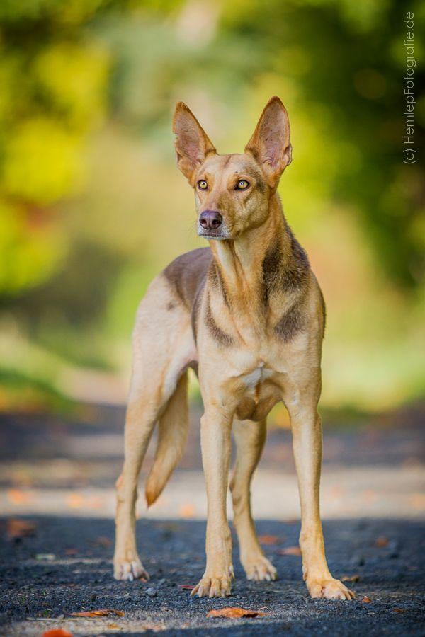 Tierfotografie Hundefotografie Hund Mischling Schaferhund