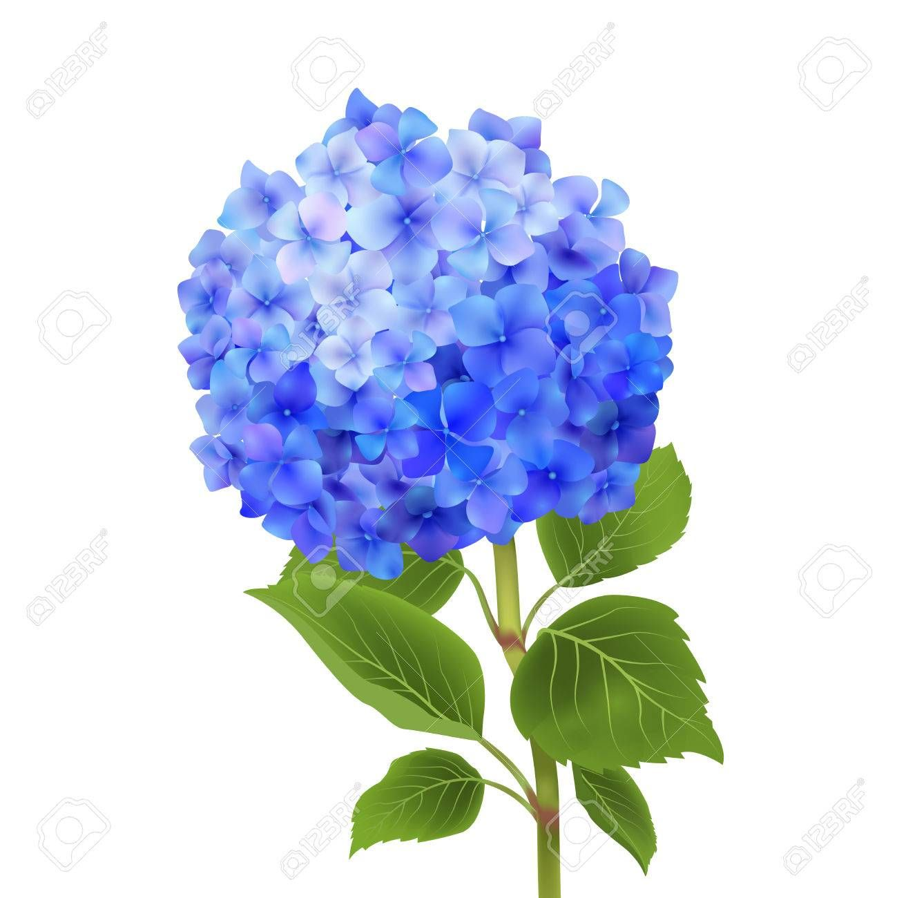 Realistic Blue Hydrangea Flower Isolated On White Background Vector Illustration Blue Hydrangea Flowers Blue Hydrangea Watercolor Flowers
