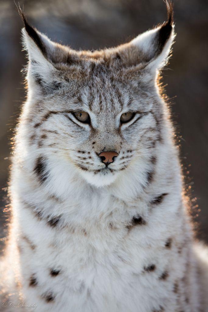 Glowing Lynx Big Cats Animals Beautiful Animals