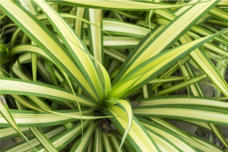 Dracaena care guide growing information and tips plants