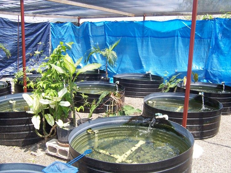Backyard fish farm backyard farming pinterest for Koi pond hydroponics