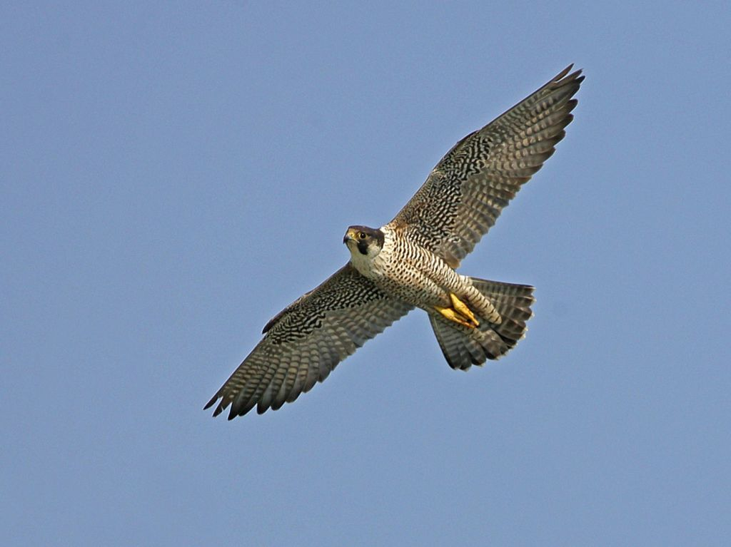 The Peregrine is a large, powerful falcon that is quite