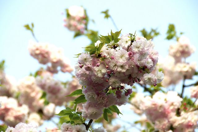 Photo Of The Day Cherry Blossom In Hiroshima Japan Cherry Blossom Photo Blossom
