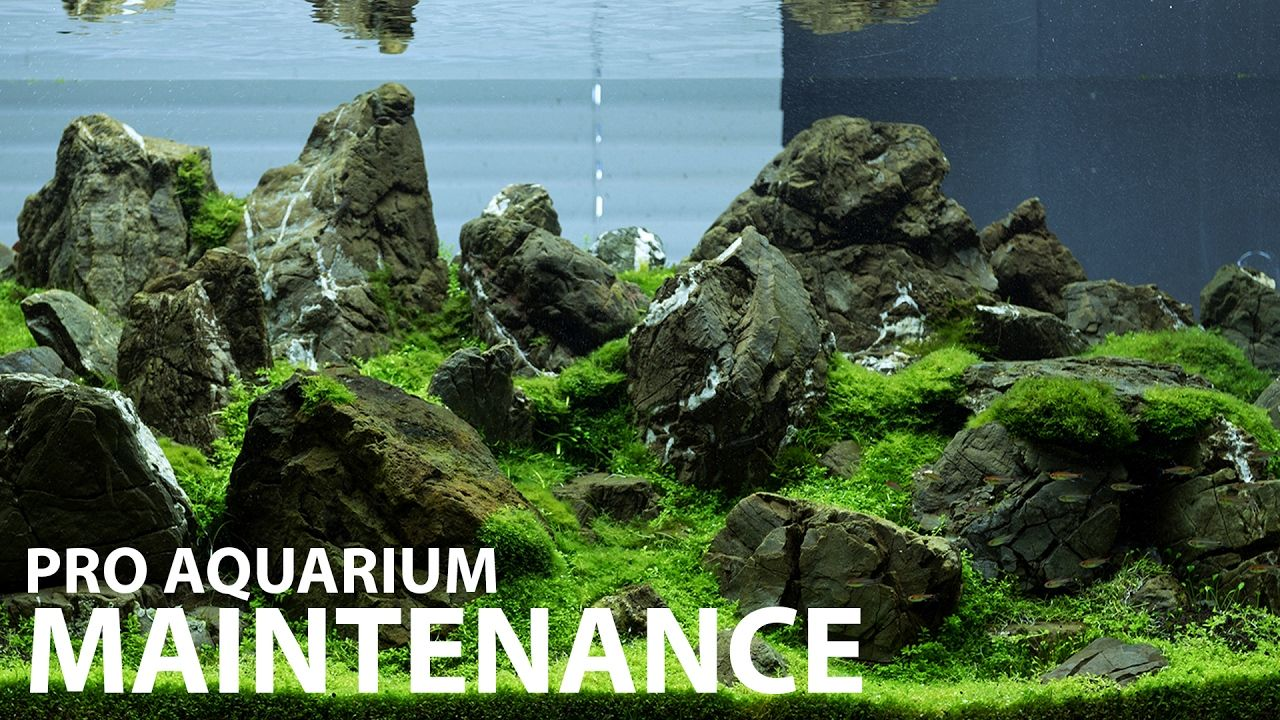 Aquarium Maintenance In 1 Hour At Green Aqua 240l Display