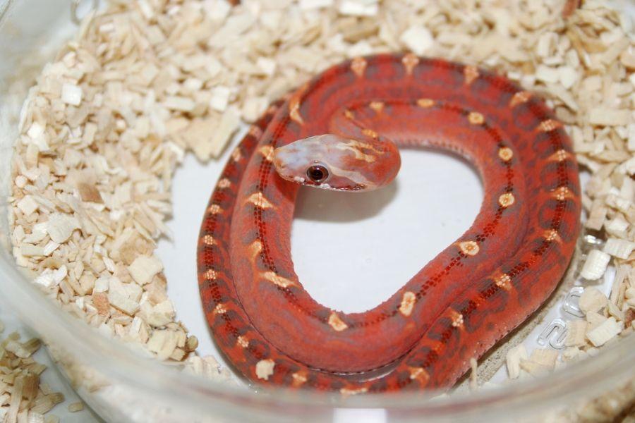 scaleless corn snakes   Pets I Want   Reptilien, Schlangen