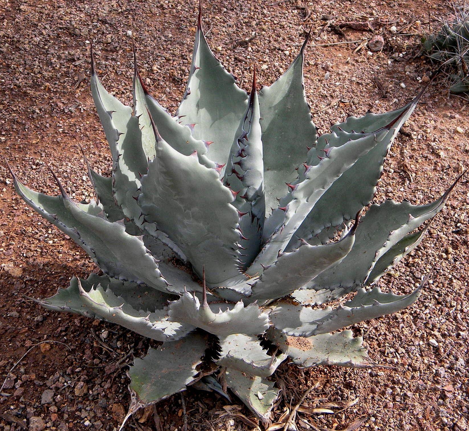 Agave colorata x gentryi  hybrid