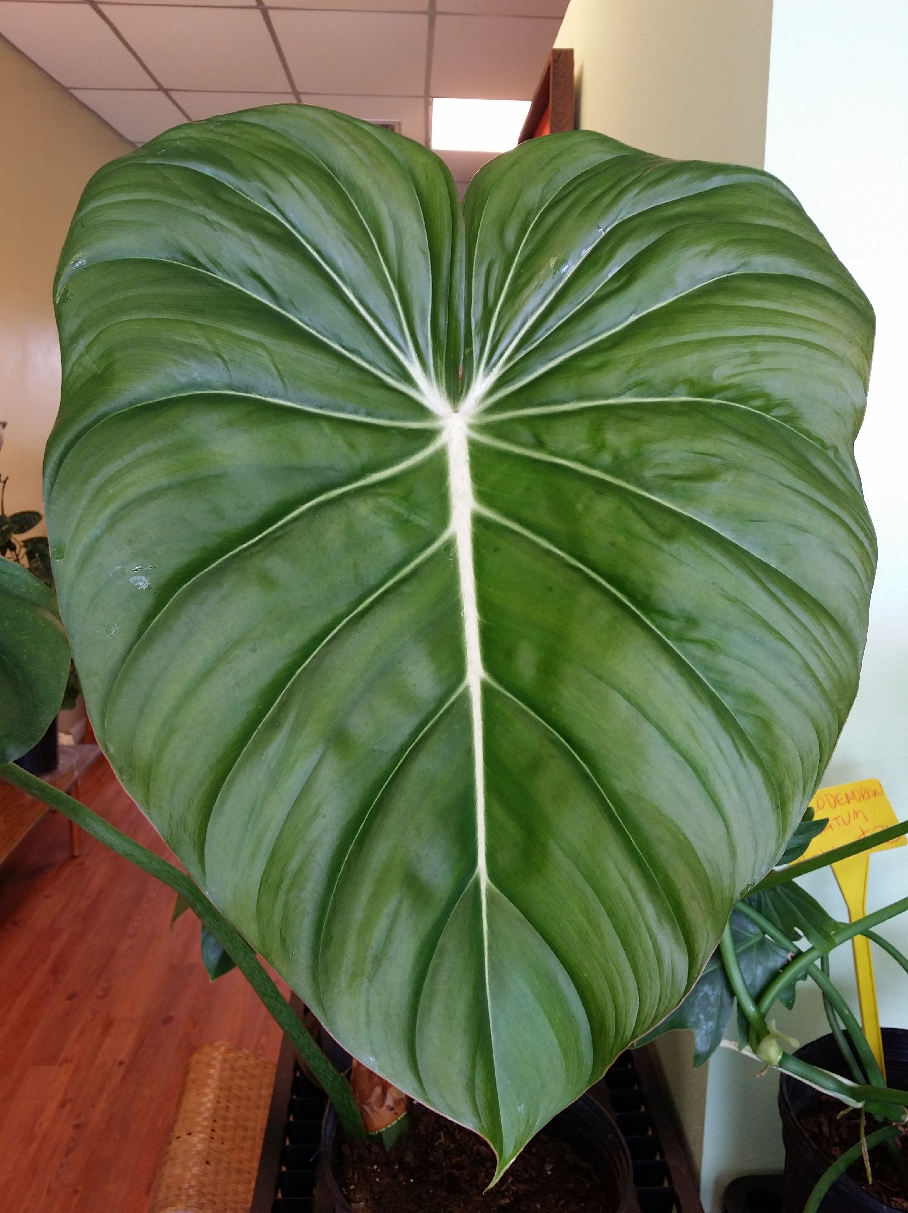 Some Big Leaves Around The Nursery Exotica Tropicals Tropical