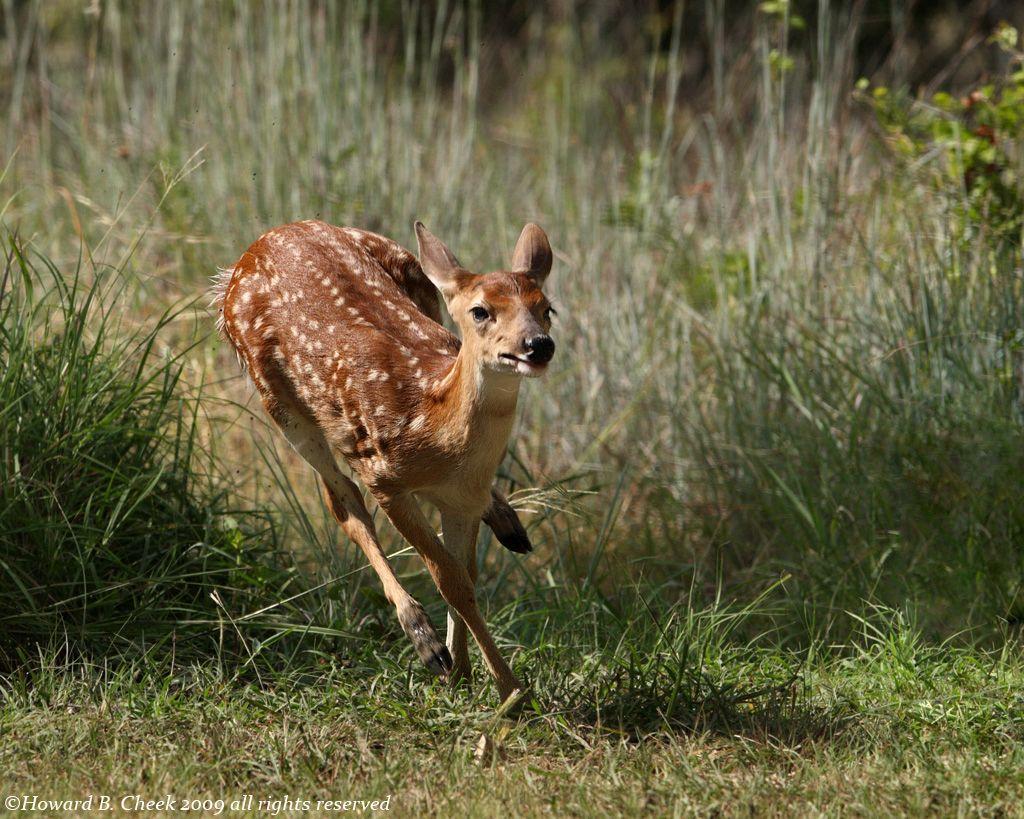 Fawn on the run.. | White-tail Deer | Pinterest | Wildlife, White ...