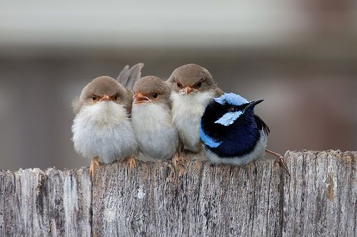 Believe it or not the blue bird is the father of the three brown chicks. These are three superb fairywren chicks huddled together with their father.